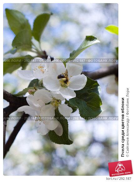Пчела среди цветов яблони, эксклюзивное фото № 292187, снято 16 мая 2008 г. (c) Сайганов Александр / Фотобанк Лори