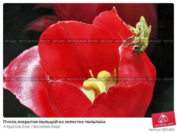 Пчела,покрытая пыльцой на лепестке тюльпана, фото № 301663, снято 27 мая 2008 г. (c) Круглов Олег / Фотобанк Лори