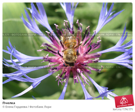 Пчелка, фото № 174171, снято 22 мая 2006 г. (c) Елена Гордеева / Фотобанк Лори