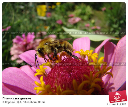 Пчелка на цветке, фото № 118707, снято 19 августа 2007 г. (c) Карелин Д.А. / Фотобанк Лори