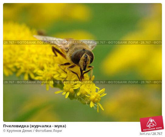 Пчеловидка (журчалка - муха), фото № 28767, снято 3 сентября 2006 г. (c) Крупнов Денис / Фотобанк Лори