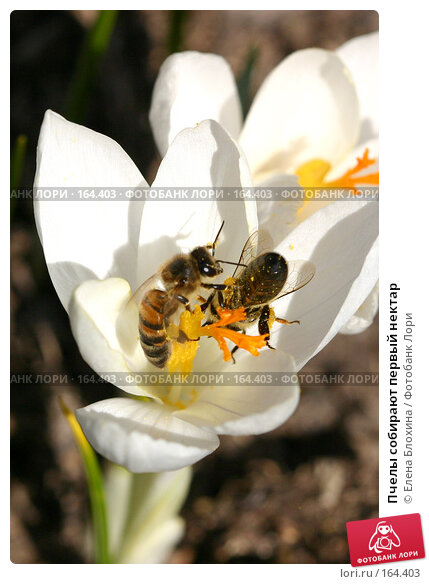 Пчелы собирают первый нектар, фото № 164403, снято 27 марта 2007 г. (c) Елена Блохина / Фотобанк Лори