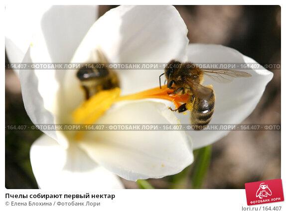 Пчелы собирают первый нектар, фото № 164407, снято 27 марта 2007 г. (c) Елена Блохина / Фотобанк Лори