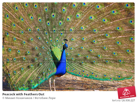 Купить «Peacock with Feathers Out», фото № 26930227, снято 5 мая 2017 г. (c) Михаил Коханчиков / Фотобанк Лори