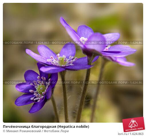 Купить «Печёночница благородная (Hepatica nobile)», фото № 1624863, снято 13 апреля 2010 г. (c) Михаил Романовский / Фотобанк Лори
