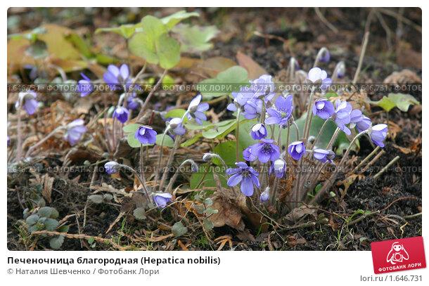Купить «Печеночница благородная (Hepatica nobilis)», эксклюзивное фото № 1646731, снято 18 апреля 2010 г. (c) Наталия Шевченко / Фотобанк Лори