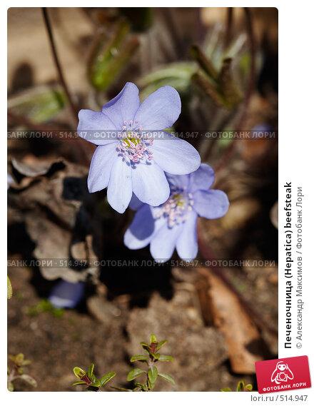 Купить «Печеночница (Hepatica) beefsteak», фото № 514947, снято 29 апреля 2006 г. (c) Александр Максимов / Фотобанк Лори