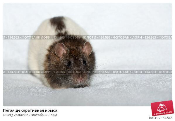 Пегая декоративная крыса, фото № 134563, снято 11 октября 2006 г. (c) Serg Zastavkin / Фотобанк Лори