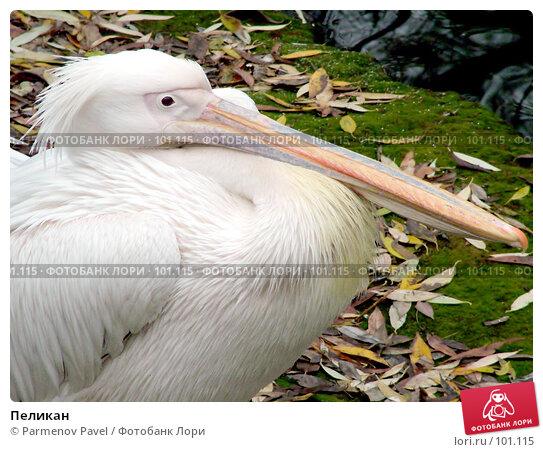 Пеликан, фото № 101115, снято 8 ноября 2004 г. (c) Parmenov Pavel / Фотобанк Лори