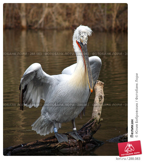 Пеликан, фото № 288083, снято 20 января 2008 г. (c) Юлия Бобровских / Фотобанк Лори