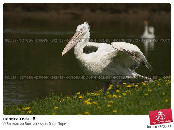 Пеликан белый, фото № 302455, снято 17 мая 2008 г. (c) Владимир Воякин / Фотобанк Лори