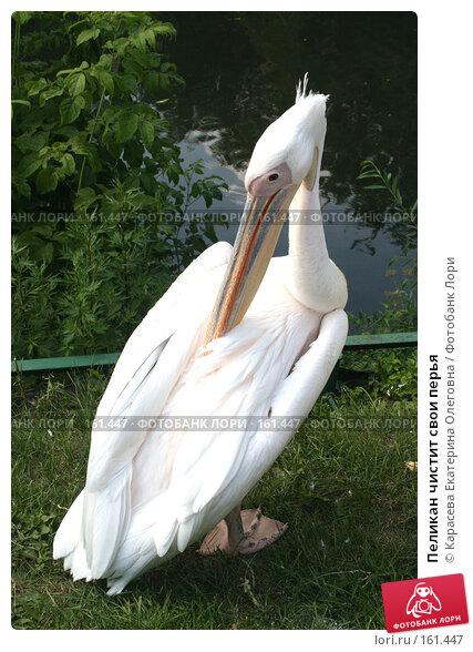 Пеликан чистит свои перья, фото № 161447, снято 11 июля 2007 г. (c) Карасева Екатерина Олеговна / Фотобанк Лори