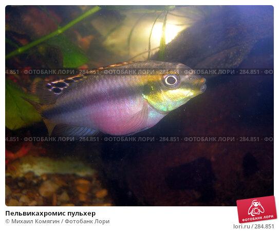 Купить «Пельвикахромис пульхер», фото № 284851, снято 28 декабря 2007 г. (c) Михаил Комягин / Фотобанк Лори