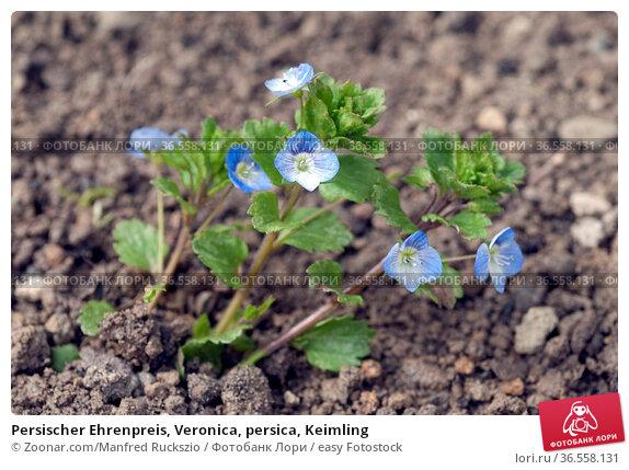 Persischer Ehrenpreis, Veronica, persica, Keimling. Стоковое фото, фотограф Zoonar.com/Manfred Ruckszio / easy Fotostock / Фотобанк Лори