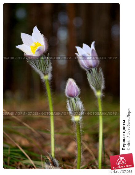 Первые цветы, фото № 37055, снято 29 апреля 2007 г. (c) vlntn / Фотобанк Лори