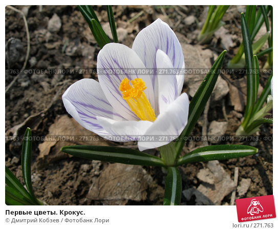 Купить «Первые цветы. Крокус.», фото № 271763, снято 1 мая 2006 г. (c) Дмитрий Кобзев / Фотобанк Лори