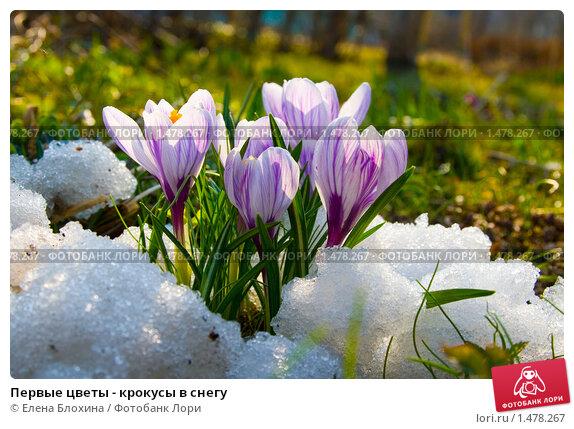 Первые цветы - крокусы в снегу; фото № 1478267, фотограф ...: http://lori.ru/1478267