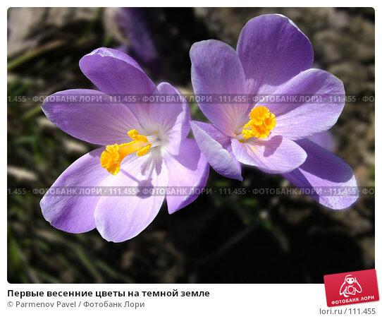 Первые весенние цветы на темной земле, фото № 111455, снято 15 апреля 2007 г. (c) Parmenov Pavel / Фотобанк Лори