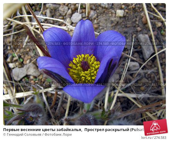 Первые весенние цветы забайкалья,  Прострел раскрытый (Pulsatilla patens), фото № 274583, снято 6 мая 2008 г. (c) Геннадий Соловьев / Фотобанк Лори