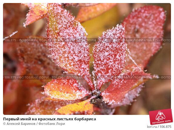 Купить «Первый иней на красных листьях барбариса», фото № 106875, снято 31 октября 2007 г. (c) Алексей Баринов / Фотобанк Лори