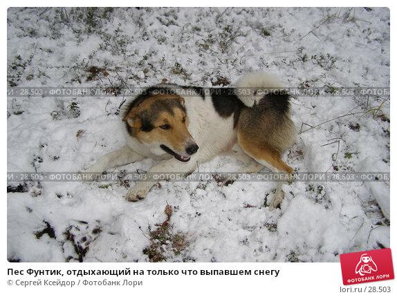 Пес Фунтик, отдыхающий на только что выпавшем снегу, фото № 28503, снято 6 ноября 2006 г. (c) Сергей Ксейдор / Фотобанк Лори