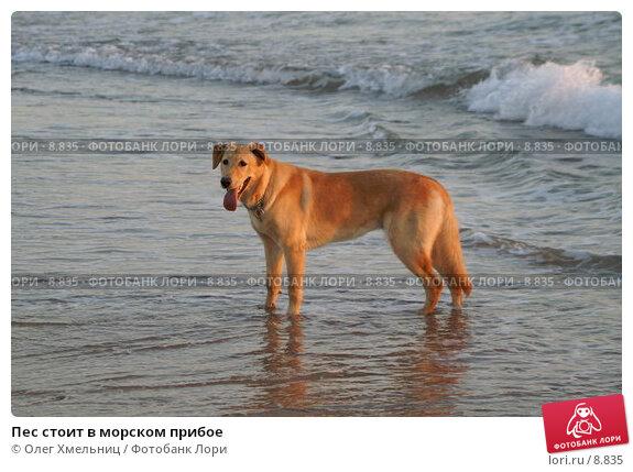 Пес стоит в морском прибое, фото № 8835, снято 11 июля 2006 г. (c) Олег Хмельниц / Фотобанк Лори