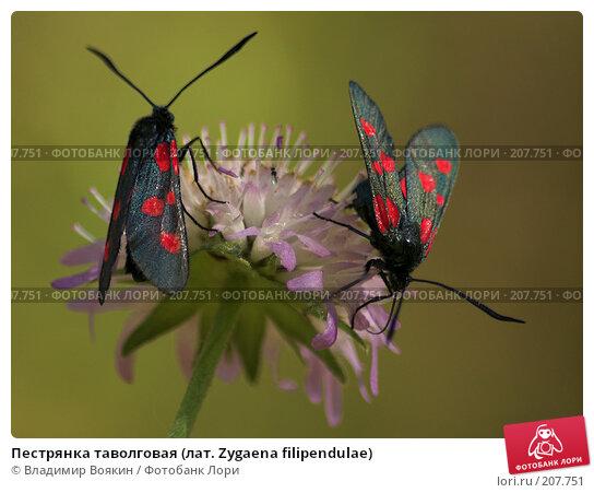 Пестрянка таволговая (лат. Zygaena filipendulae), фото № 207751, снято 23 июля 2006 г. (c) Владимир Воякин / Фотобанк Лори