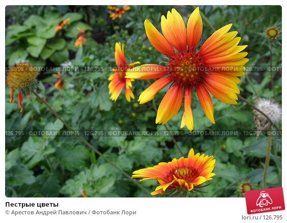 Купить «Пестрые цветы», фото № 126795, снято 6 июля 2007 г. (c) Арестов Андрей Павлович / Фотобанк Лори