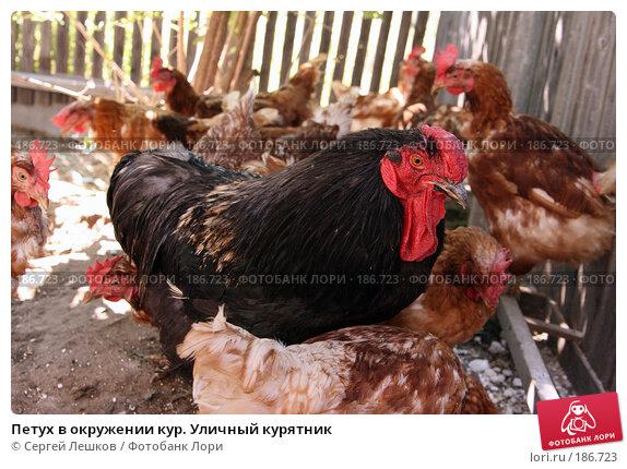 Купить «Петух в окружении кур. Уличный курятник», фото № 186723, снято 22 июля 2007 г. (c) Сергей Лешков / Фотобанк Лори