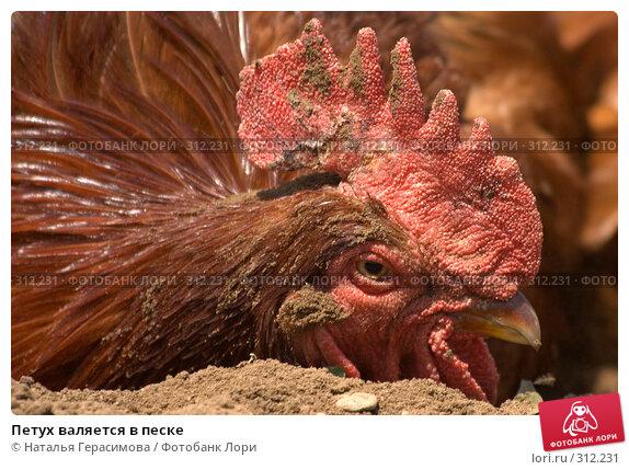 Петух валяется в песке, фото № 312231, снято 30 мая 2008 г. (c) Наталья Герасимова / Фотобанк Лори