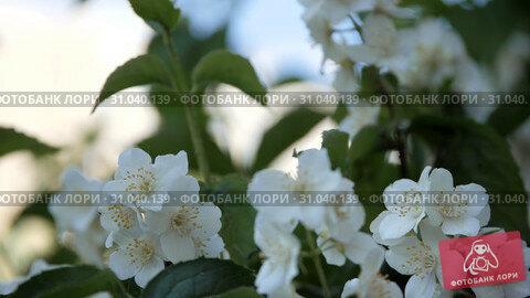 Philadelphus coronarng. White jasmine flowers sway in the wind. Стоковое видео, видеограф Константин Мерцалов / Фотобанк Лори