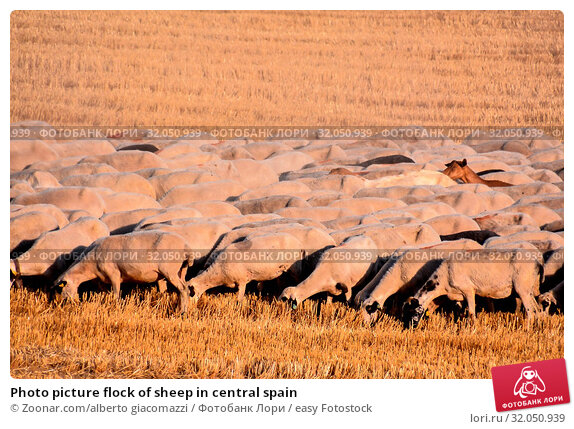 Photo picture flock of sheep in central spain. Стоковое фото, фотограф Zoonar.com/alberto giacomazzi / easy Fotostock / Фотобанк Лори