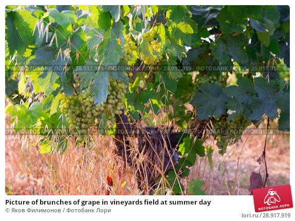 Купить «Picture of brunches of grape in vineyards field at summer day», фото № 28917919, снято 11 июля 2018 г. (c) Яков Филимонов / Фотобанк Лори