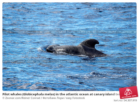 Pilot whales (Globicephala melas) in the atlantic ocean at canary island tenerife. Стоковое фото, фотограф Zoonar.com/Reiner Conrad / easy Fotostock / Фотобанк Лори