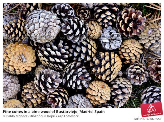 Pine cones in a pine wood of Bustarviejo, Madrid, Spain. Стоковое фото, фотограф Pablo Méndez / age Fotostock / Фотобанк Лори