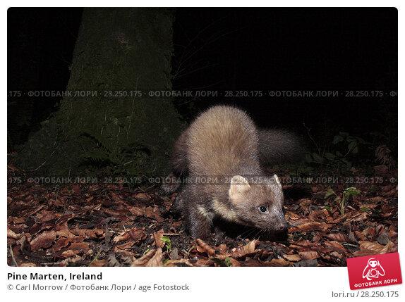 Купить «Pine Marten, Ireland», фото № 28250175, снято 2 января 2017 г. (c) age Fotostock / Фотобанк Лори