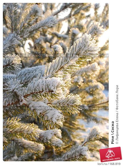Pine \ Сосна, фото № 168819, снято 5 января 2008 г. (c) Лифанцева Елена / Фотобанк Лори