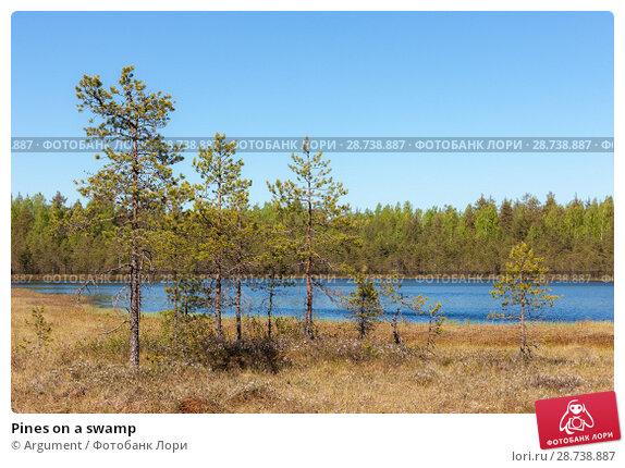 Купить «Pines on a swamp», фото № 28738887, снято 30 мая 2009 г. (c) Argument / Фотобанк Лори