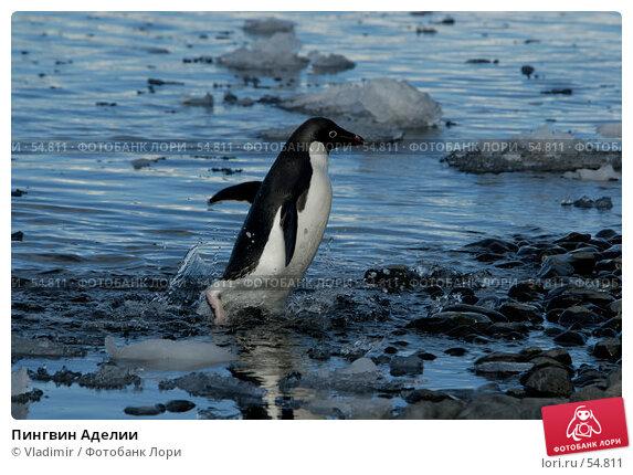 Пингвин Аделии, фото № 54811, снято 25 ноября 2006 г. (c) Vladimir / Фотобанк Лори