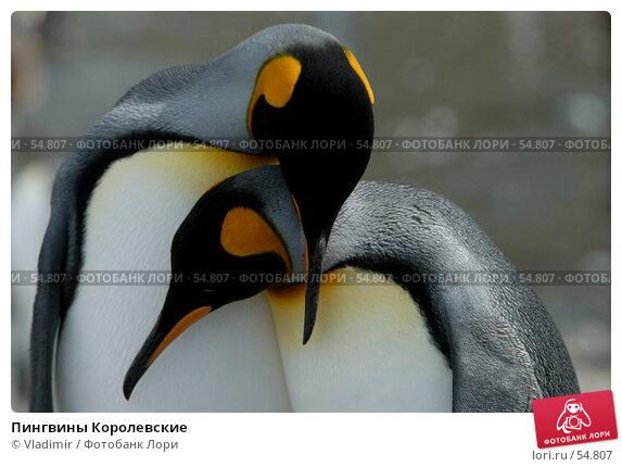 Пингвины Королевские, фото № 54807, снято 25 января 2007 г. (c) Vladimir / Фотобанк Лори