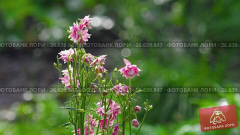 Купить «Pink decorative aquilegia flowers», видеоролик № 26639847, снято 2 июля 2017 г. (c) Игорь Жоров / Фотобанк Лори