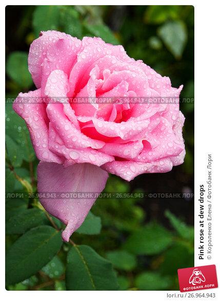 Pink rose at dew drops, фото № 26964943, снято 30 июля 2017 г. (c) Короленко Елена / Фотобанк Лори