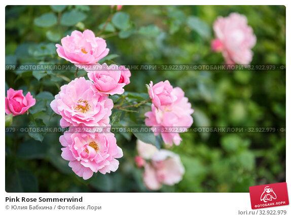 Купить «Pink Rose Sommerwind», фото № 32922979, снято 12 июля 2018 г. (c) Юлия Бабкина / Фотобанк Лори
