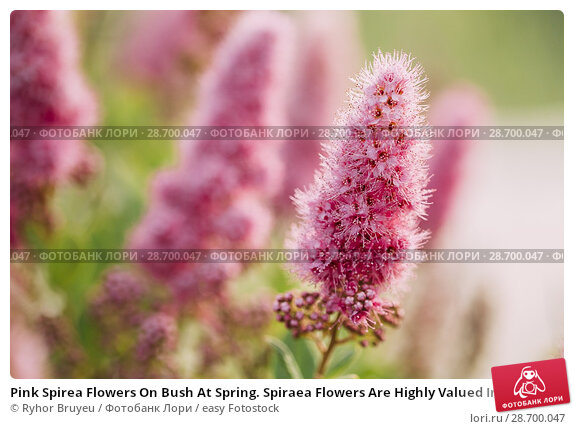Купить «Pink Spirea Flowers On Bush At Spring. Spiraea Flowers Are Highly Valued In Decorative Gardening And Forestry Management. The Plant Is Widely Used In Landscaping And Organizations Hedges.», фото № 28700047, снято 17 июня 2016 г. (c) easy Fotostock / Фотобанк Лори