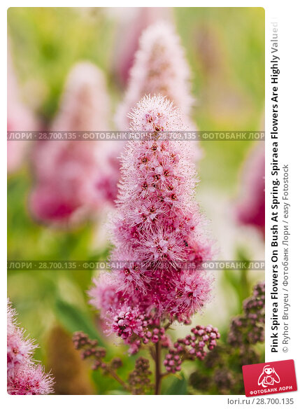 Купить «Pink Spirea Flowers On Bush At Spring. Spiraea Flowers Are Highly Valued In Decorative Gardening And Forestry Management. The Plant Is Widely Used In Landscaping And Organizations Hedges.», фото № 28700135, снято 17 июня 2016 г. (c) easy Fotostock / Фотобанк Лори