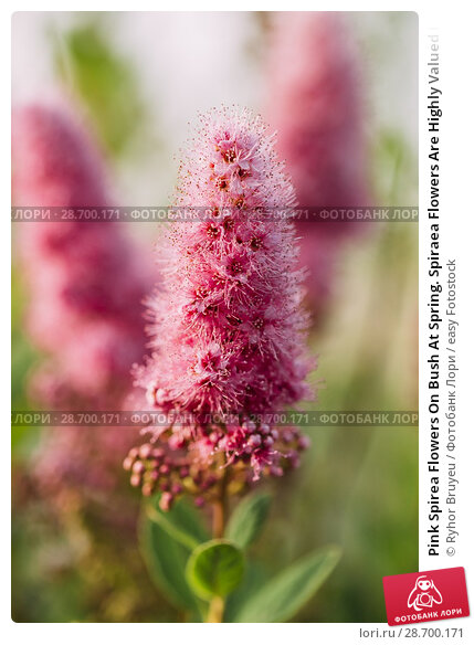 Купить «Pink Spirea Flowers On Bush At Spring. Spiraea Flowers Are Highly Valued In Decorative Gardening And Forestry Management. The Plant Is Widely Used In Landscaping And Organizations Hedges.», фото № 28700171, снято 17 июня 2016 г. (c) easy Fotostock / Фотобанк Лори