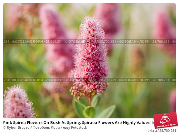 Купить «Pink Spirea Flowers On Bush At Spring. Spiraea Flowers Are Highly Valued In Decorative Gardening And Forestry Management. The Plant Is Widely Used In Landscaping And Organizations Hedges.», фото № 28700231, снято 17 июня 2016 г. (c) easy Fotostock / Фотобанк Лори