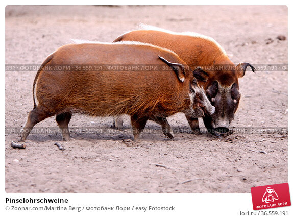 Pinselohrschweine. Стоковое фото, фотограф Zoonar.com/Martina Berg / easy Fotostock / Фотобанк Лори
