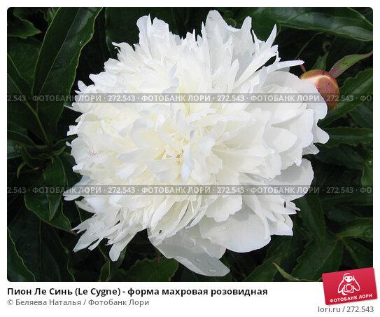 Пион Ле Синь (Le Cygne) - форма махровая розовидная, фото № 272543, снято 11 июля 2006 г. (c) Беляева Наталья / Фотобанк Лори