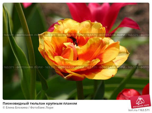 Пионовидный тюльпан крупным планом, фото № 163571, снято 16 мая 2007 г. (c) Елена Блохина / Фотобанк Лори